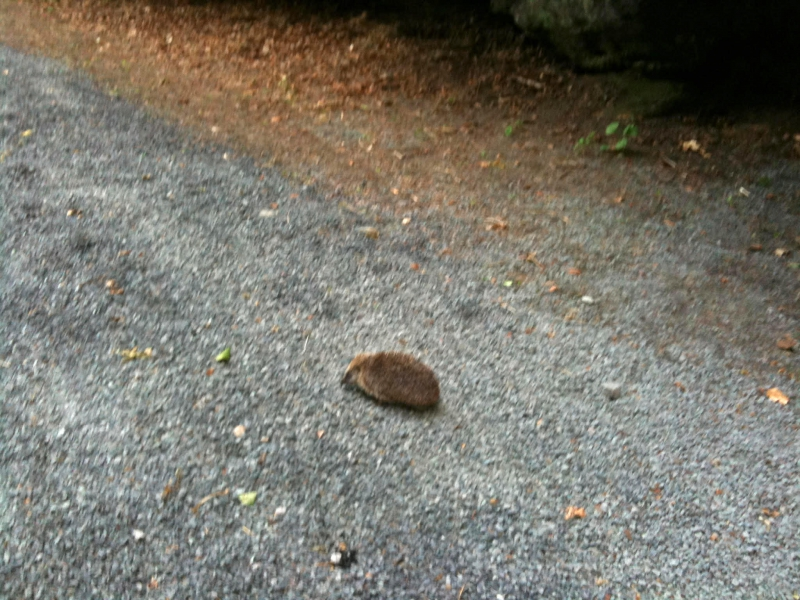 THE KENNOWAY DEN--Strolling along the footpaths with a baby groundhog